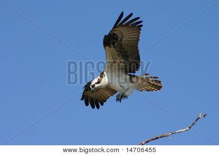 Osprey bird in flight over Florida seaside poster