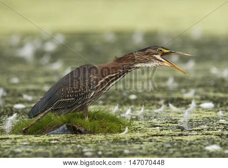 A beautiful Green Heron appears to call out as it wades through the green backwaters of a Wisconsin river.