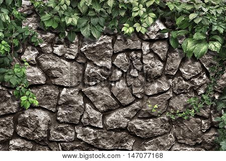 climbing plant on the old stone wall