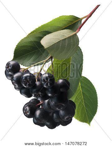 Aronia (black Chokeberry), Paths