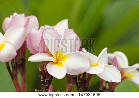 White pink and yellow Plumeria blossom frangipani flowers Frangipani