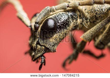 Beetle portrait. Bug macro. Rhagium inquisitor. Cerambycidae. Estonia. Europe. Red background