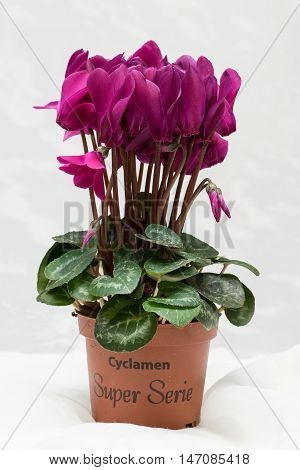 Purple cyclamen bloom and green leaf. Blooming lilac flower. Violet blossom and pot. White background