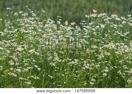 Corn chamomile blossom. Mayweed bloom. White blooming flowers in natural environment. Scentless chamomile flower. Anthemis arvensis Asteraceae family.