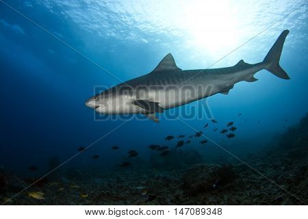 A tiger shark swims over the reef at Kona Hawaii