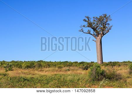 Single Baobab Tree In An African Landscape With Clear Blue Sky