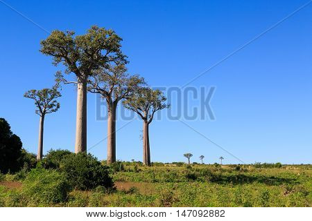 Baobab Trees In An African Landscape With Clear Blue Sky