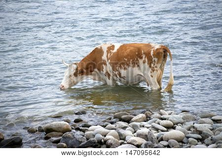 Cow on a watering place