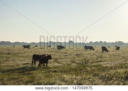 Calves walk in an open field as other cows graze.