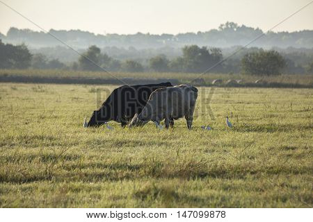 Two cows graze in an open field.
