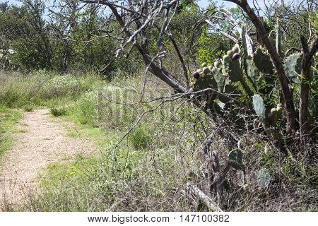 Winding hiking trail with prickly pear cactus and deadwood.
