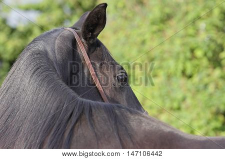 black horse looking backwards on a green background