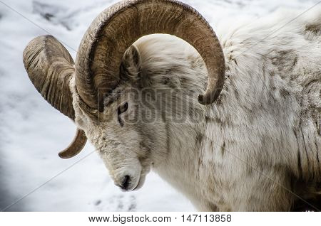 Big Horn Sheep tilting its head forward in the winter