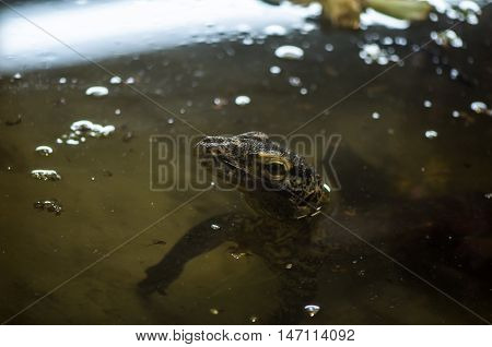 Komodo Dragon poking its head out of the water