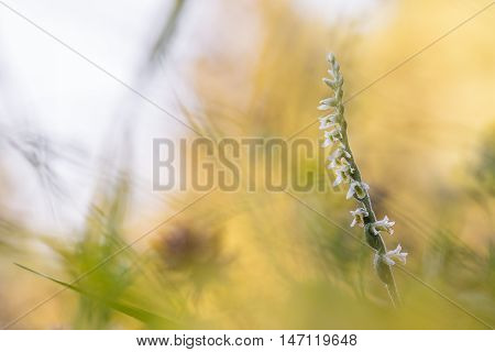 Spiranthes Spiralis, Commonly Known As Autumn Lady's-tresses