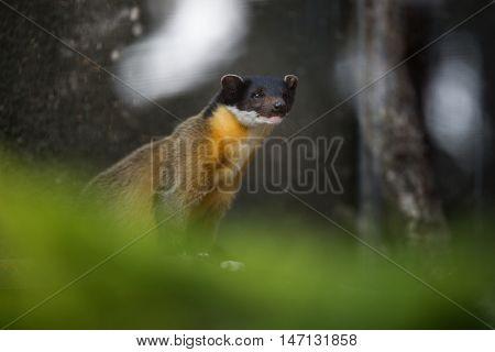 Yellow-throated marten (Martes flavigula)