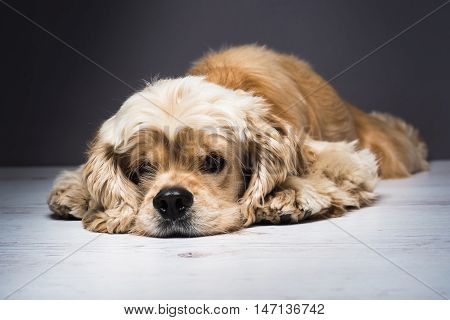 Dog on a white wooden floor. American cocker spaniel lying and looking at the camera. Young purebred Cocker Spaniel. Dark background.
