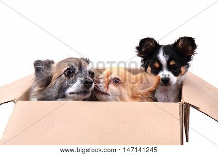 Three Chihuahua In The Paper Box