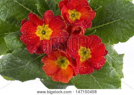Primula Flowers In A Pot The Top View. Primula Red.