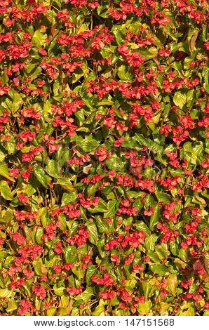Vertical clump of red begonias in a garden
