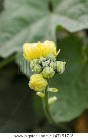 Sponge Gourd flower or Luffa cylindrica in nature garden