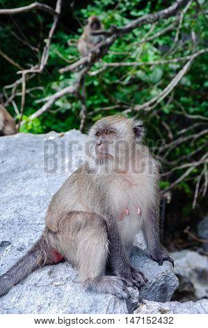 Female Macaca fascicularis sitting on a rock. Monkey beach Thailand.