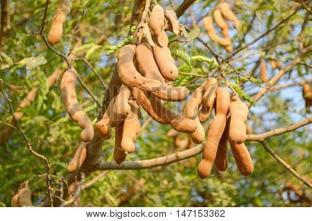 close up Tamarindus indica fruit in nature garden poster