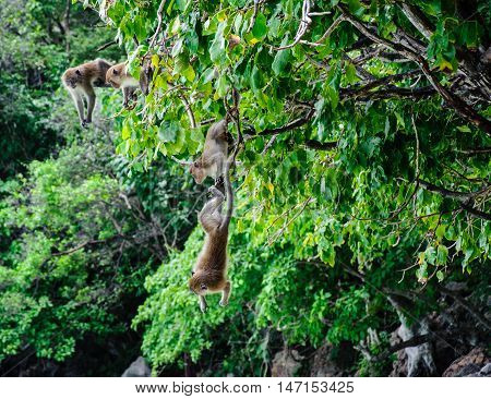 two Macaca fascicularis hung on the tree. Monkey island Koh Phi Phi Thailand.