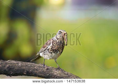 bird Fieldfare Thrush in a tree, holding in its beak a long worm