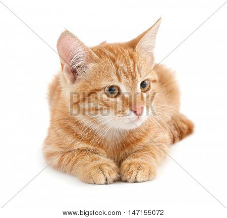 Red kitten on white background