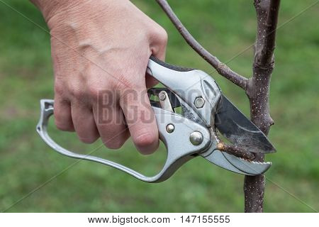 Pruning knot on fruit tree seedlings after planting in soil close up step by step guide