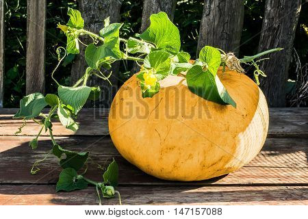 Large pumpkin with a branch Thladiantha Dubia on the old garden table. Vintage rustic style