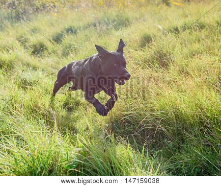 Black Labrador Retriever running in long grass.