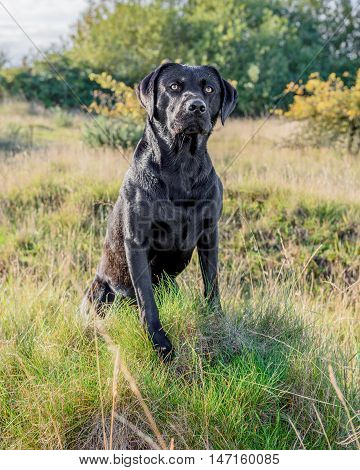 Black Labrador Retriever sat in long grass.