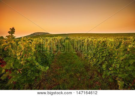 Fields With Vineyards At Sunset. Toned