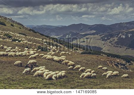 Flock of sheep grazing on a alpine pasture in Bucegi Mountains Romania.