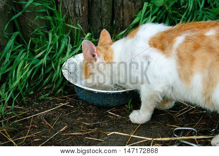 Red Cat Drink Dirty Rainwater From An Old Metal Bowl. The Bowl Is On The Ground Near The Wooden Fenc