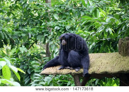 Siamang also known as lesser ape is resting in a rainforest