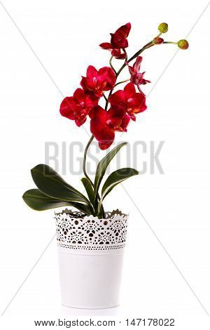 red flower orchid in a flowerpot isolated on white