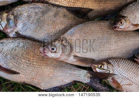Close Up View Of Pile Of The Common Bream Fish, Crucian Fish, Roach Fish, Bleak Fish On The Natural