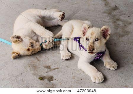 Tame Baby Lion Portrait