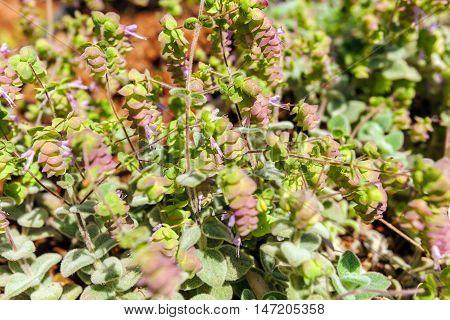 Origanum Dictamnus, Dittany Of Crete Herb