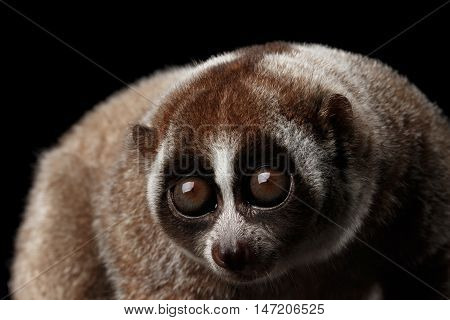 Close-up Face of Cute Lemur Slow Loris Isolated Black background poster