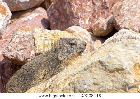 Marmot hiding in the rocks in the mountains, Pyrenees, Girona, Alp, Catalonia, Spain