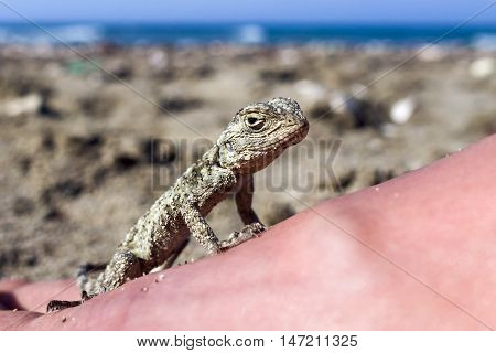 Small saurian (Close-up) on the sea shore