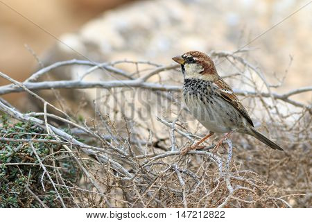 Spanish sparrow (Passer hispaniolensis) Perched on a branch