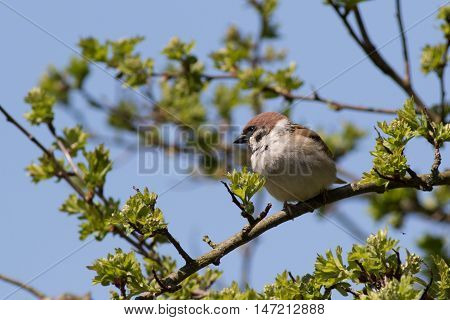 Tree Sparrow(Passer montanus) perched in a tree