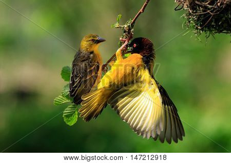 Village Weaver (Ploceus cucullatus) building a nest