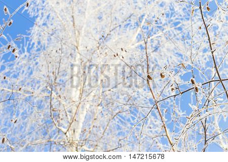 Winter and cold blue sky and tree branches in the frost. A beautiful screen saver for a screen or a winter background.