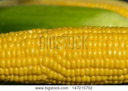 Ripe corn in the husk on dark stone background. Healthy eating